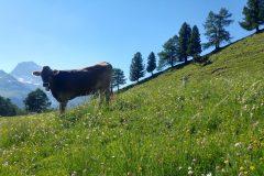CH-AWS_site_cow_20190628